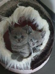 BKH Kitten Britisch Kurzhaar reinrassig
