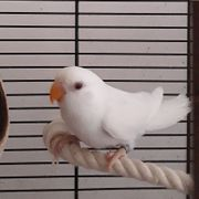 Agaporniden Lovebirds Unzertrennliche