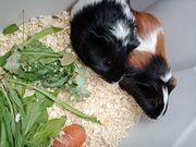 süßes Meerschweinchen sucht neues Zuhause