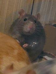 Nurnoch wenige Rattenböcke abzugeben