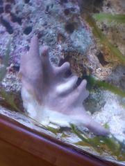 Pilzlederkoralle auf Stein Meerwasser