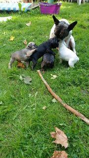 Französische Bulldoggen Videos PLZ 42551