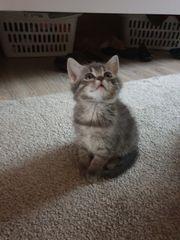 Wunderschöne Perser BKH Mix Kitten