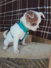 Zwergspitz Pomerania Chihuahua Welpen