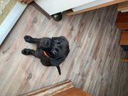 Labrador Welpe Rüde 9 Wochen