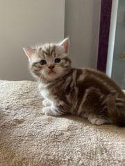 BKH Kitten Katzen Britisch Kurzhaar