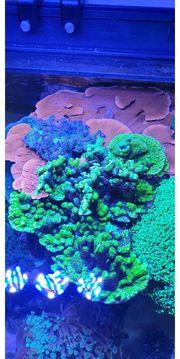 korallenableger SPS Montipora