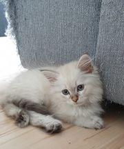 Neva Masquarade Sibirische Katzen dürfen