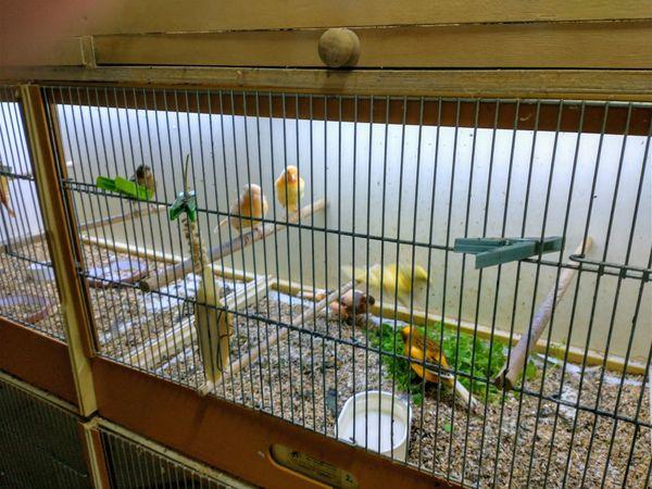 Nestjunge Kanarienvögel (Harlekin)