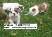 Hervorragende Bulldoggenwelpen zu verkaufen