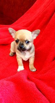 Mini Chihuahua Welpen zum Verkauf