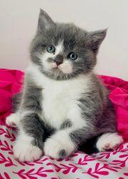 BKH -Kätzchen alle RESERVIERT