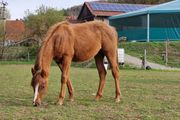 Quarter Horse Jährling Stute Reining