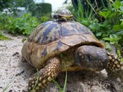 Biete Griechische Landschildkröten Testudo Hermani