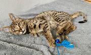 Savannah F2 Kitten geb 13