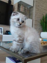 BKH Kitten Scottish Fold