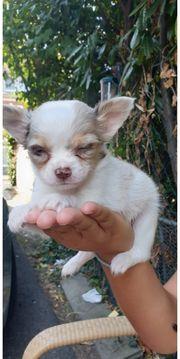 Chihuahua Lilac Tiermarkt Tiere Kaufen Quoka De