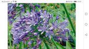 Blaue Schmuck-Lilie Liebesblume