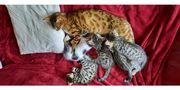 Bengalmix Kitten