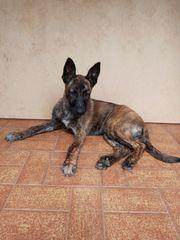 Schäferhund Welpen Mischlinge Belgischer Holländischer