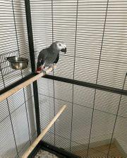 Papagei männlich zu verkaufen