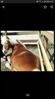 Pferd Haflingerstute