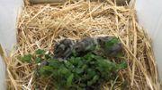 Zwerghamster Weibchen lat Phodopus Sungors