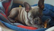 Reinrassiger Französischer Bulldoggen Welpe - Weibchen