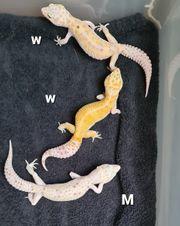 Leopardgecko 1 2 WY Mack