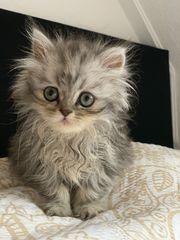 KatzenBaby Perser kitten