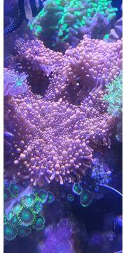 Koralle Ricordia