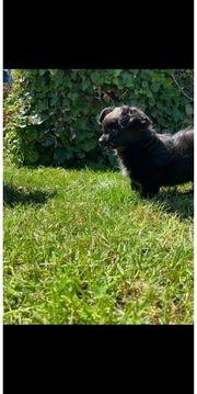 Chihuahua Hündin 12 Wochen