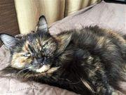 Schildpatt langhaarige Katze