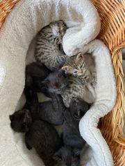 Süße Britisch Kurzhaar Mix Kitten