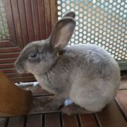 Albrecht 1 Jahr - Kaninchen - Tierhilfe