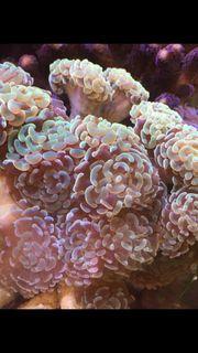 Korallenableger - Set 10 Stück