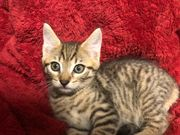 4 Maine Coon- Mix Kitten