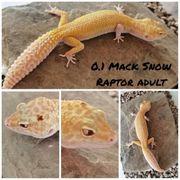 Leopardgecko 0 1 Mack Snow