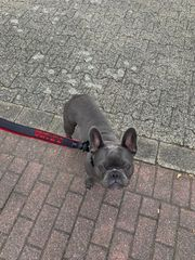 Deckrüde Französische Bulldogge Blau Grau