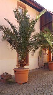 Attraktive Phönix canariensis kanarische Dattel-Palme