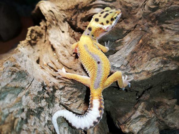 Leopardgecko lat Eublepharis macularius 69EUR