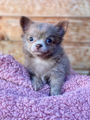 Traumhafte Chihuahua Welpen suchen ihre