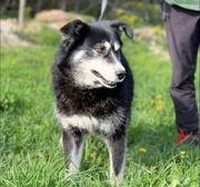 Auri Schäferhund mix 5 Jahre