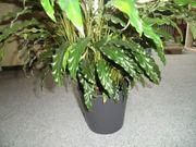 Zimmerpflanze ca 60 cm groß