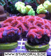 Tolle Korallenableger aus eigener Nachzucht