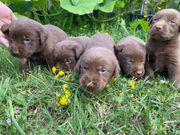 Reinrassige Süße Labrador Retriever Welpen