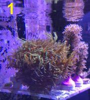 Korallenableger Korallen Gorgonien Zoanthus Weichkorallen