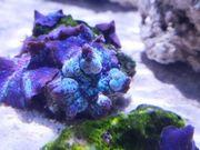 Discosoma Blue Metallic Stripes Korallen
