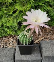 Kaktus - Königin der Nacht - Echinopsis -