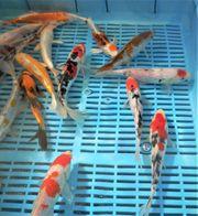 jap Koi - Teichfische bei KOI